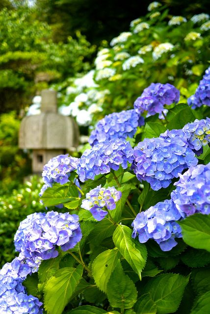 hydrangea; they always make me think of my grandmother; mine had bushes so big you could hide under them; always wondered why they didn't have a scent.