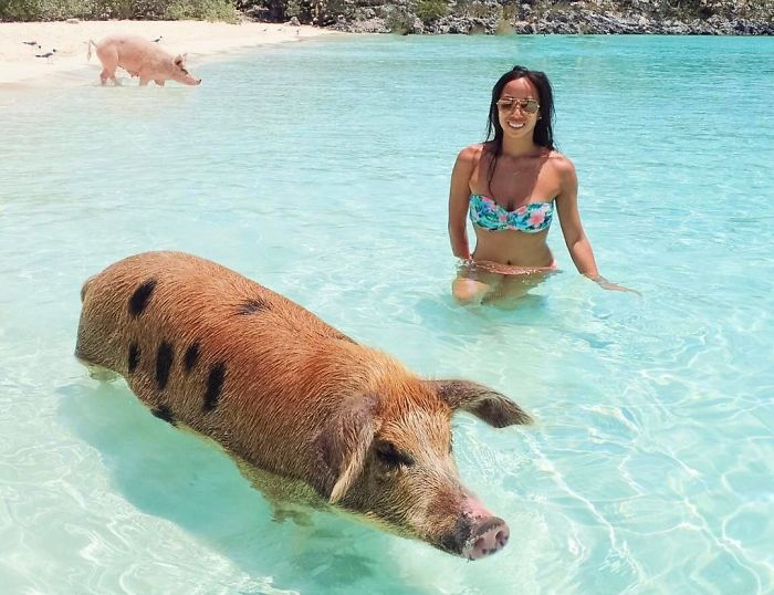 If we could only empty out all the Slaughter Houses around the country and bring all the Pigs to the warm Cozy beaches and do our Human Part to relieve the Trauma & Misery We've subjected these poor Pigs To for many centuries