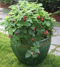 Last year I bought and planted a 'Raspberry Shortcake' raspberry bush. It has some new leaves at the base of the plant now (early spring). Should I cut off the bare stems leftover from last year? Answer: 'Raspberry Shortcake' is …  Read Article