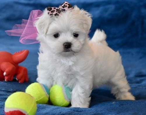 Maltese Puppies For Sale Salt Lake City Ut Maltese Puppy