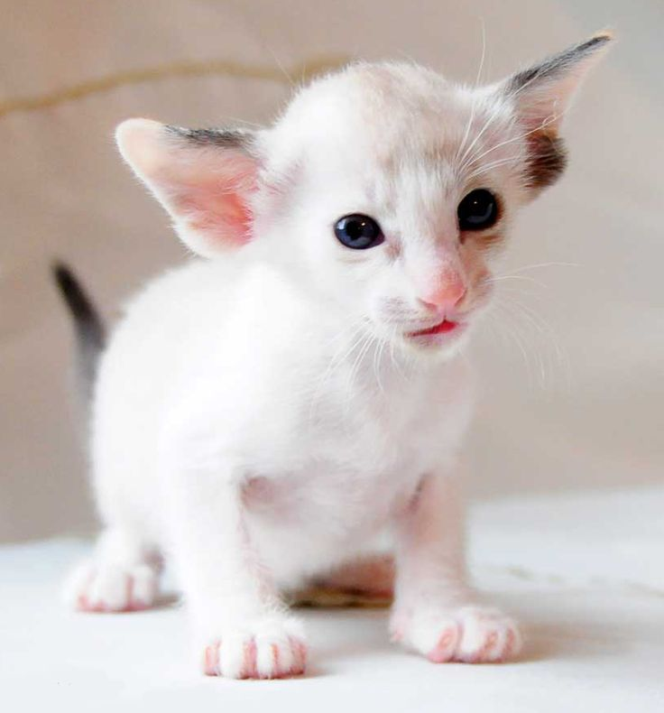 Can you believe the adorableness of this Oriental Shorthair Siamese kitten!? Look at the personality in her cute little face!