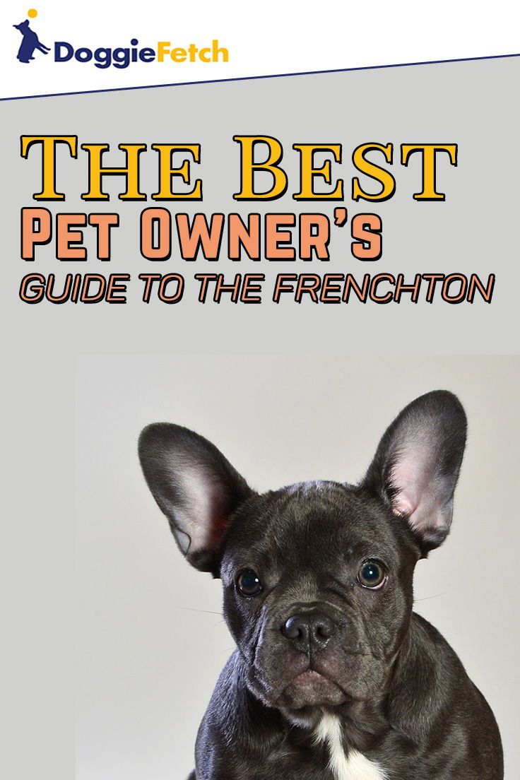 A Pet Owner S Guide To The Frenchton Frenchton Dog New Puppy