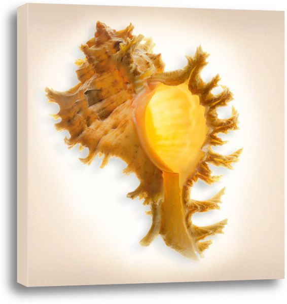 Picture of Branched Murex. #coastal #beach #beachhouse #wallart #homedecor #beachdecor #shells