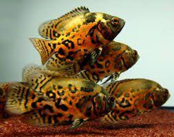 tiger oscar fish - Hľadať Googlom