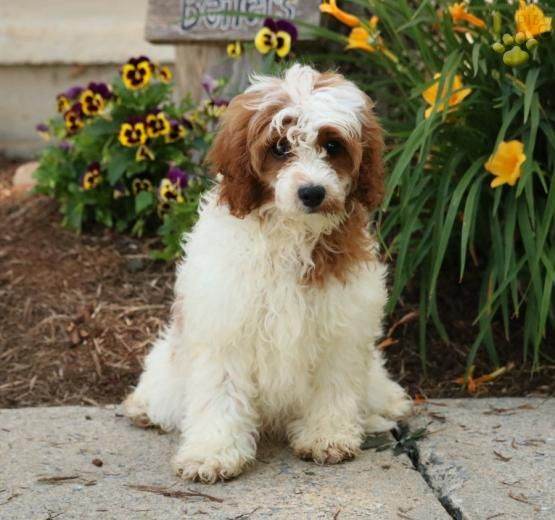 King - Cavapoo Puppy for Sale in Manheim, PA | Lancaster Puppies
