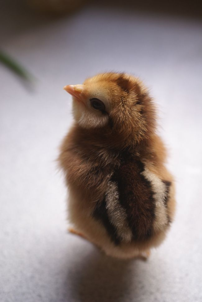 Meet The Chicks The O Jays Babies And Backyards