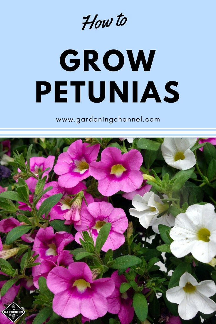 How To Grow Petunias Petunias Vegetable Garden Planning Flower