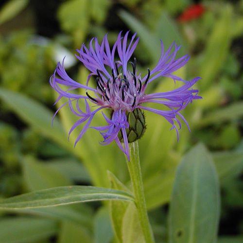 CENTAUREA montana (Centaurée - Bleuet des montagnes) : Culture très facile en sol ordinaire, même pauvre et caillouteux. Excellentes fleurs à couper. Touffes plus ou moins étalées. Fleurs bleu violacé.