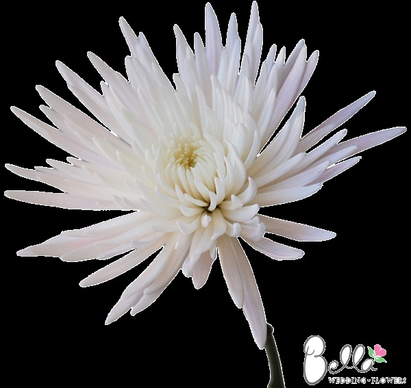 23 best fresh rose petals for weddings images on pinterest rose white spider mums with pink blush are one of bellas favorite contemporary wedding flowers sleek elongated petals unfurl from the center of the bloom mightylinksfo Choice Image