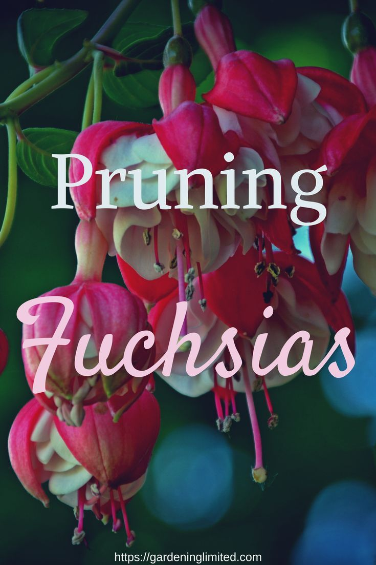 Blog Jardinage Débutant Pruning Fuchsias Blog Share Board