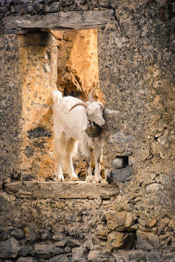 Climbing Goat in the Window, Samaria Greece by Rene Columbus