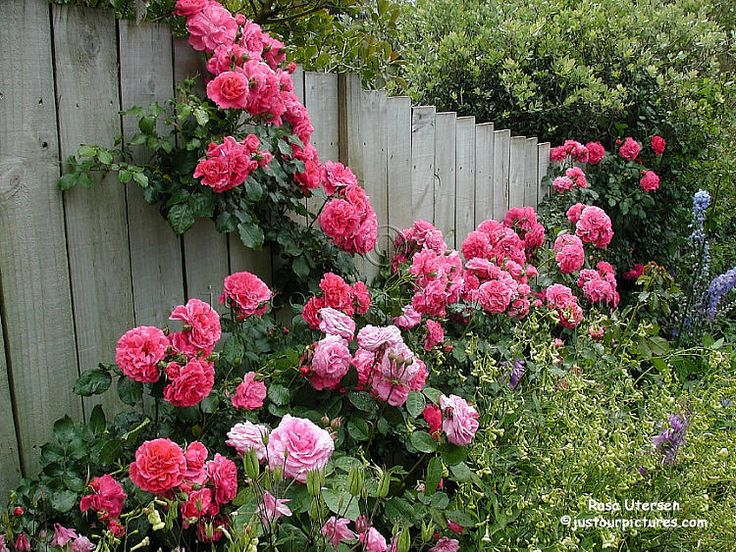 utersen rose and companions stretching happily along a fence in an auckland rose garden dream. Black Bedroom Furniture Sets. Home Design Ideas