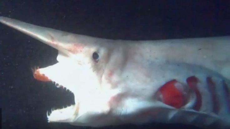 Real sea monsters freakier than anything on SyFy: Goblin shark