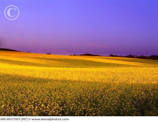 Alberta (Canola fields)