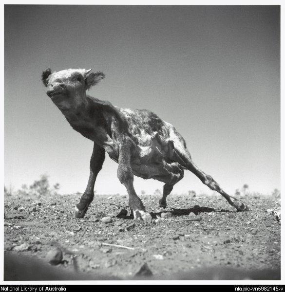 Nolan, Sidney, Sir, 1917-1992. Dried carcass of a calf, Queensland, 1952 [picture]