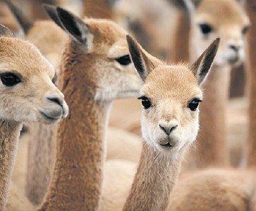 MFFashion.com - Loro Piana investe 1,6 milioni di dollari in Argentina per poter salvare la vicuña