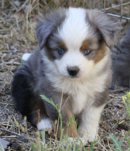 Mini Aussie Puppies!! kid stuff Pinterest