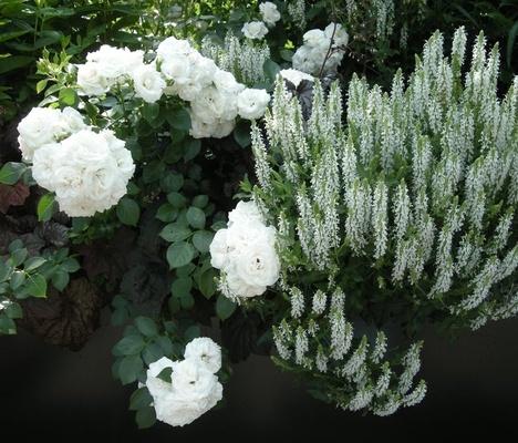 White cover och vit stäppsalvia  - Rabatt i stället för syrener | Odla.nu