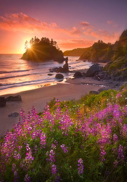 """Beach Garden"" Near Arcata, California.Lupine flowers glow in the last light of sunset overlooking the sea stacks and sandy beaches of the Northern California coast. ~By Marc Adams"