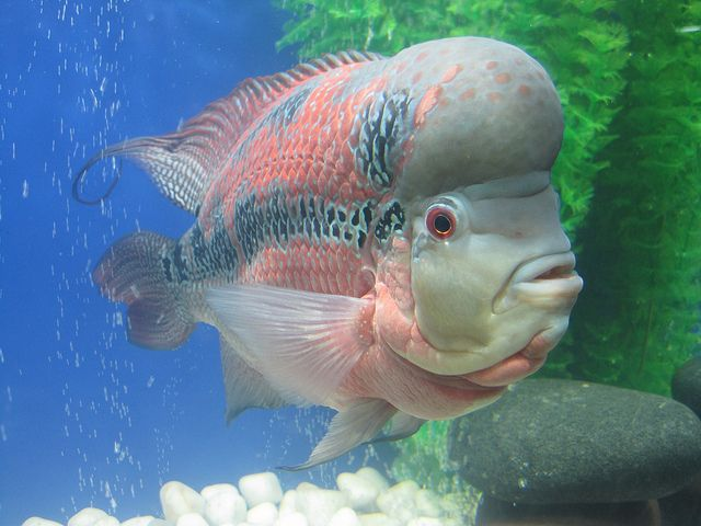 flowerhorn cichlids are ornamental aquarium fish (fresh water) that are man-made hybrids that do not exist in nature ~ photo by najeebkhan2009
