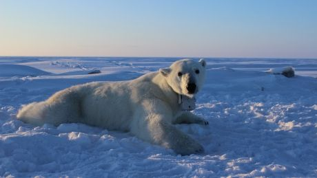 The North s apex predator threatened by receding sea ice in the Beaufort Sea, study says
