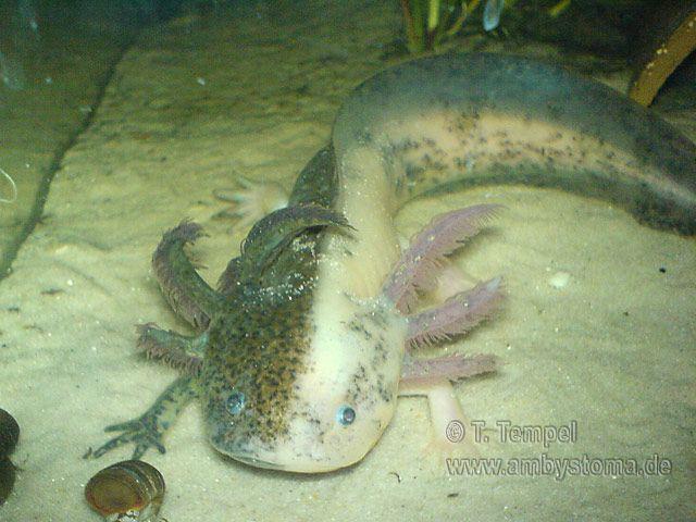 146 best Axolotl ajolote images on Pinterest Amphibians