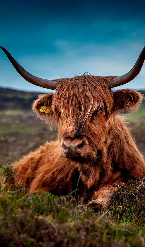 Scotland's much loved Highland Cattle can weigh up to 800 kilograms and are known for their long horns and long wavy coats #Scotland
