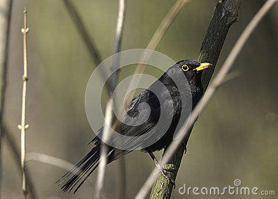 Black bird, reaching branches of a bush