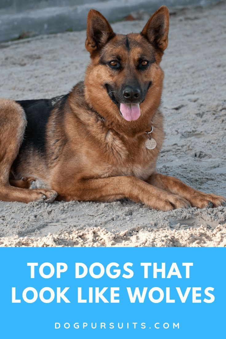 A German Shepherd Is One Of The Top Dog That Look Like Wolf Check