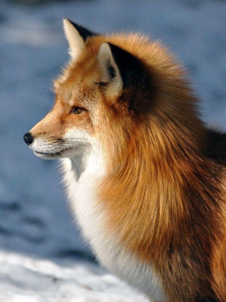 знакомишься интернете картинки с красивыми лисичками рецепты помогут