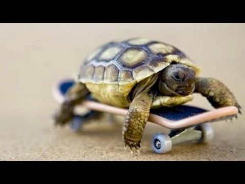 Here's a compilation about funny tortoises. Who would think that tortoises play with toys, that they like to chase animals, let other animals to ride them an...