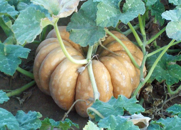 FAIRY TALE/MUSQUE DE PROVENCE PUMPKIN   Fairy-Tale-Pumpkin.jpg