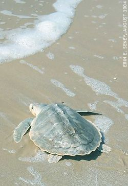 Kemp's Ridley turtle is named after Richard Kemp, a fisherman from Florida, who helped discover the species.