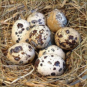 Wachtel-Ei: Größe: ca.3 cm groß. Bescheibung: Die Eier haben einen hellbraunen Grundton mit vielen dunklen Flecken. Stück-Preis: 0,80 €