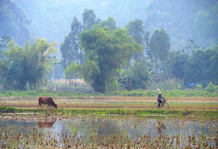 Vietnamese woman cycling through the paddy fields of Hoa Lu #vietnam #traveltheworld