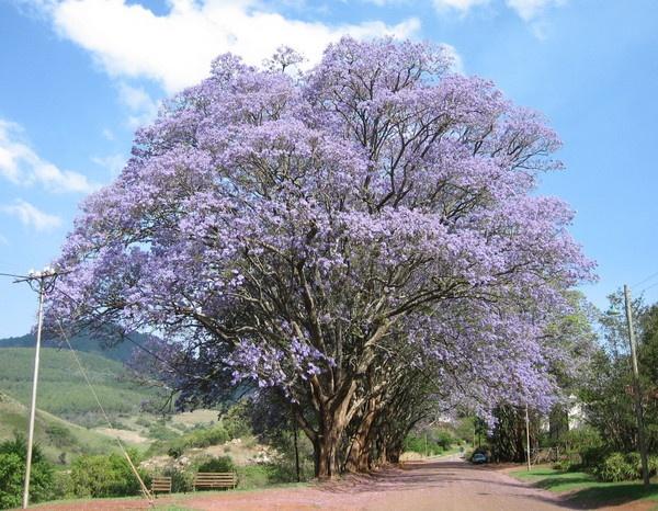 Jacaranda tree - Pilgrims Rest