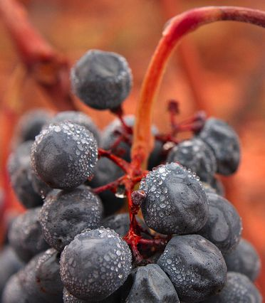 Discovering Carmenere- Tasting notes + 7 top picks. Carmenere has become Chile's go-to grape. This outcast of Bordeaux found the combination of sun, soil and climate that it requires to excel on the western slopes of Chile's Andes mountain valleys... http://www.snooth.com/articles/carmenere/