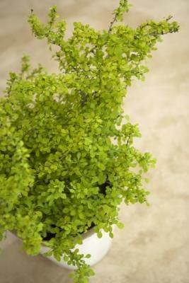 how to care for maidenhair ferns - Fern Types