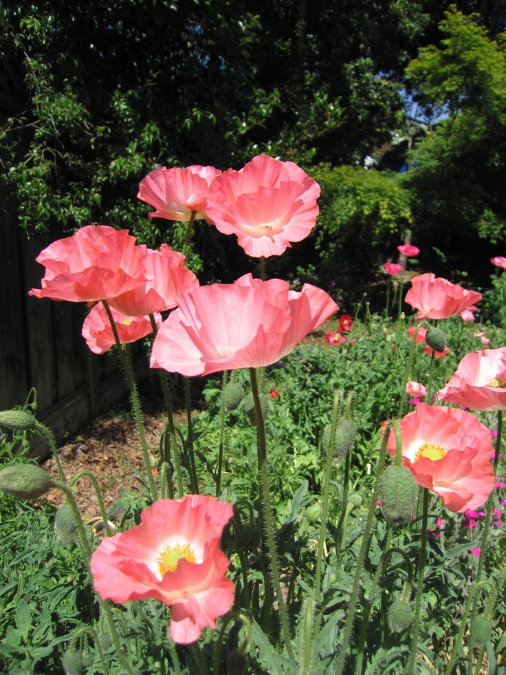 More poppies.  A coral pink.