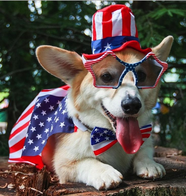 #Wally the Welsh Corgi was the winner of our 2014 #PatrioticPets contest! Share your photos all year long with #MarthaStewartPets! #corgisPuppies Howls, Dogs, Welsh Corgis, Corgis 4Th, Patriots Corgis, 4Th Of July, Patriots Pup, Happy 4Th, Animal