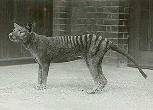 Tigre de Tasmania, antes de su extinción en 1933.