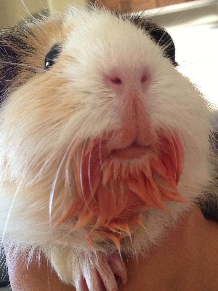 Guinea pig with tomato flavored goatee! <3