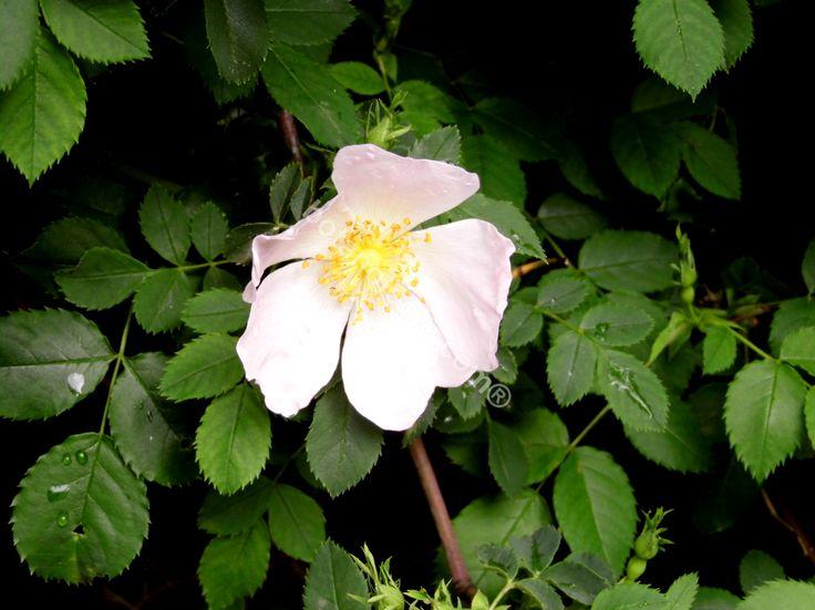 Wild rose, early winter, Greece. Άγρια τριανταφυλλιά.