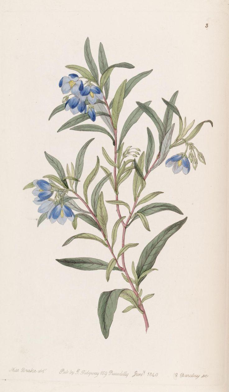 Narrow-leaved Sollya (1840) - Edwards's botanical register. - Biodiversity Heritage Library