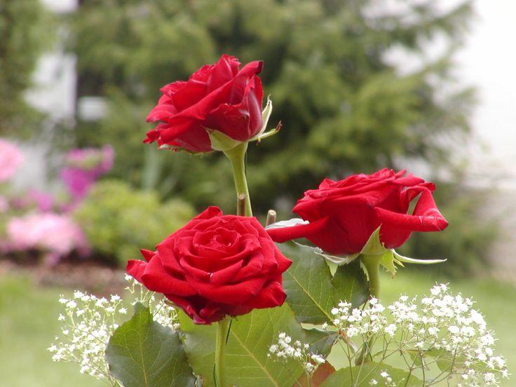 Růže Červenná