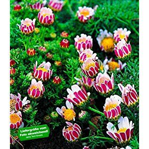 Fresh BALDUR Garten Winterharter Bodendecker Afrikanisches Ringk rbchen Pflanzen Anacyclus depressus