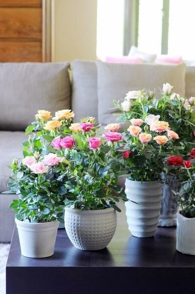 TiSento pot roses.