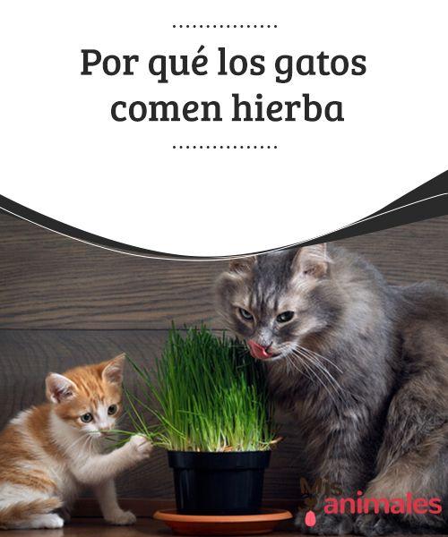 Por qué los gatos comen #hierba  Si eres de los que #pensaba que solo los perros comen hierba, estás equivocado, los #gatos también lo hacen. ¿Será por las mismas #razones que los canes o habrá algunas diferentes? En este artículo hablaremos de por qué los mininos #comen hierba, toda una incógnita que no te puedes perder.