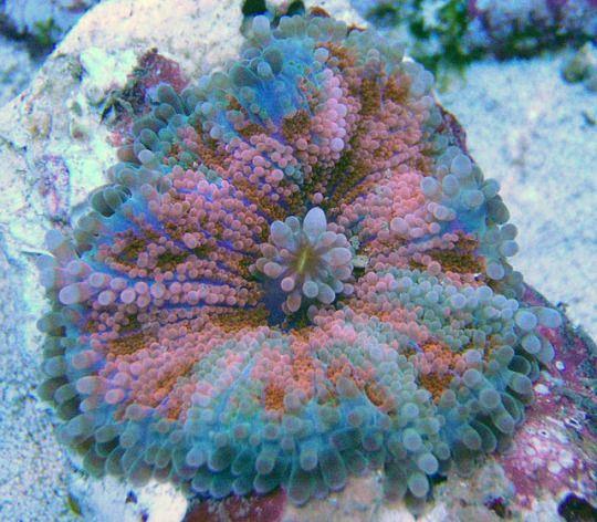 Flower Mushroom Coral - Ricordea yuma.