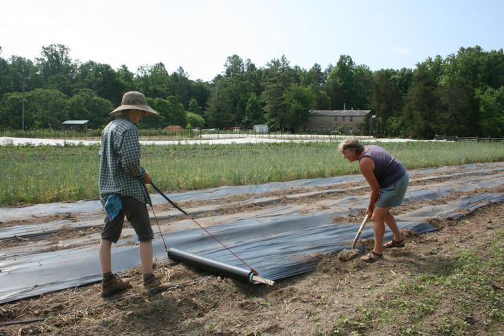 Rolling biodegradable plastic mulch to prevent weeds, warm the soil and prevent splash-back which can spread diseases from the soil. Photo by Wren Vile